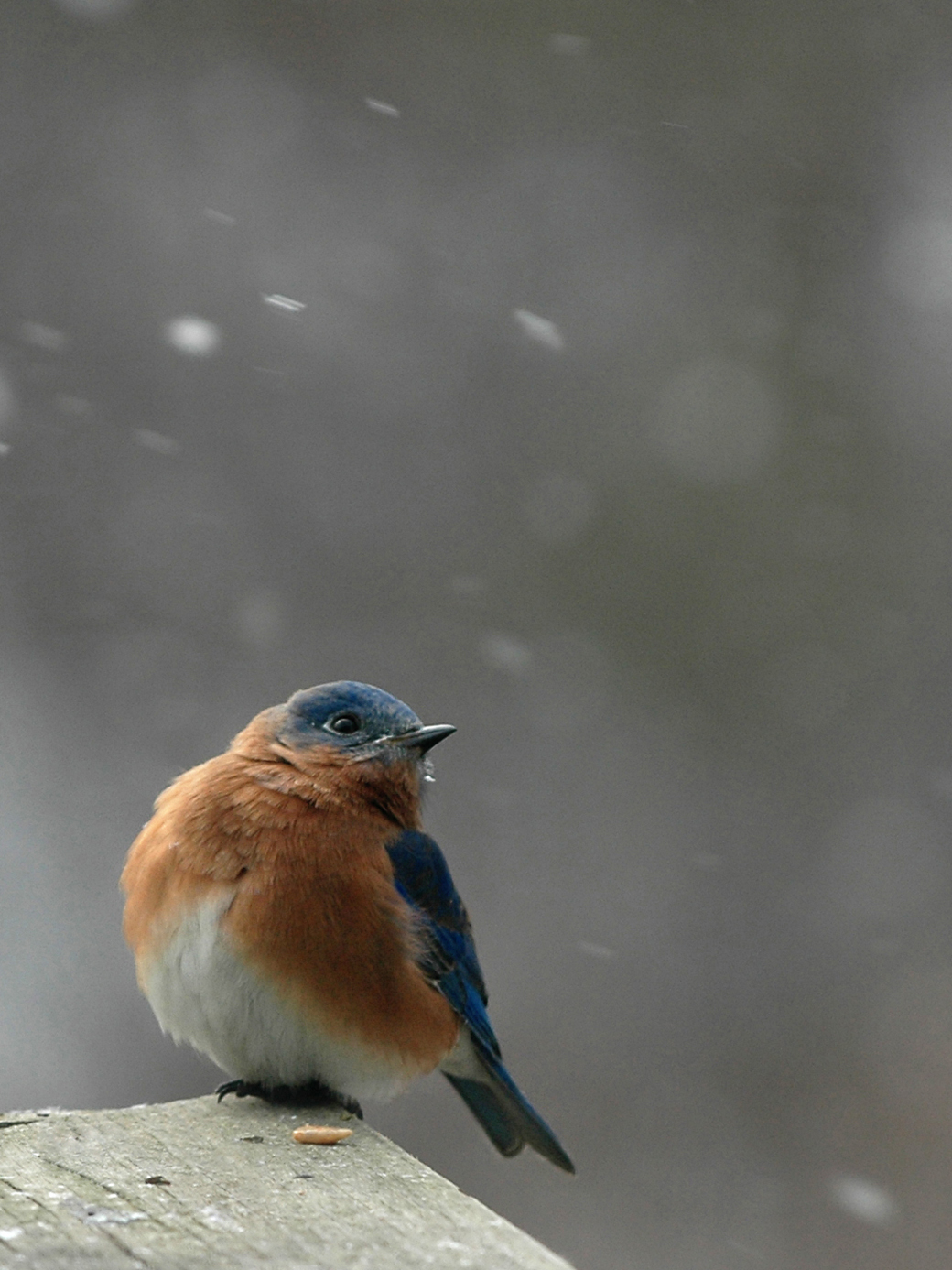 Blue Birds in Snow