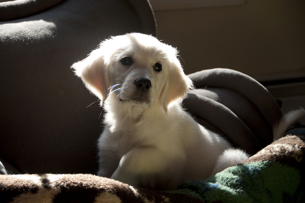 English Cream Golden Retriever Puppy